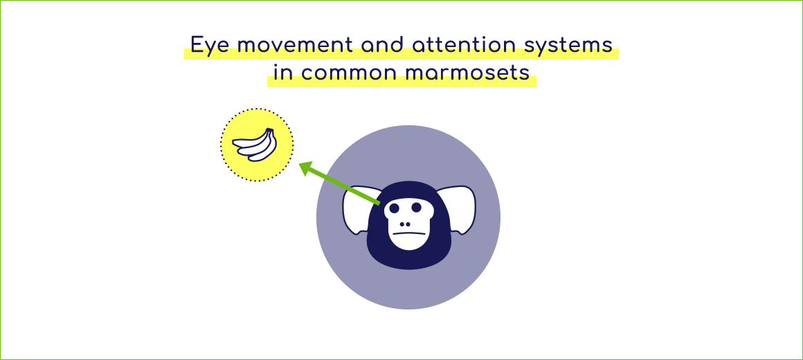 Eye movement and attention systems in common marmosets