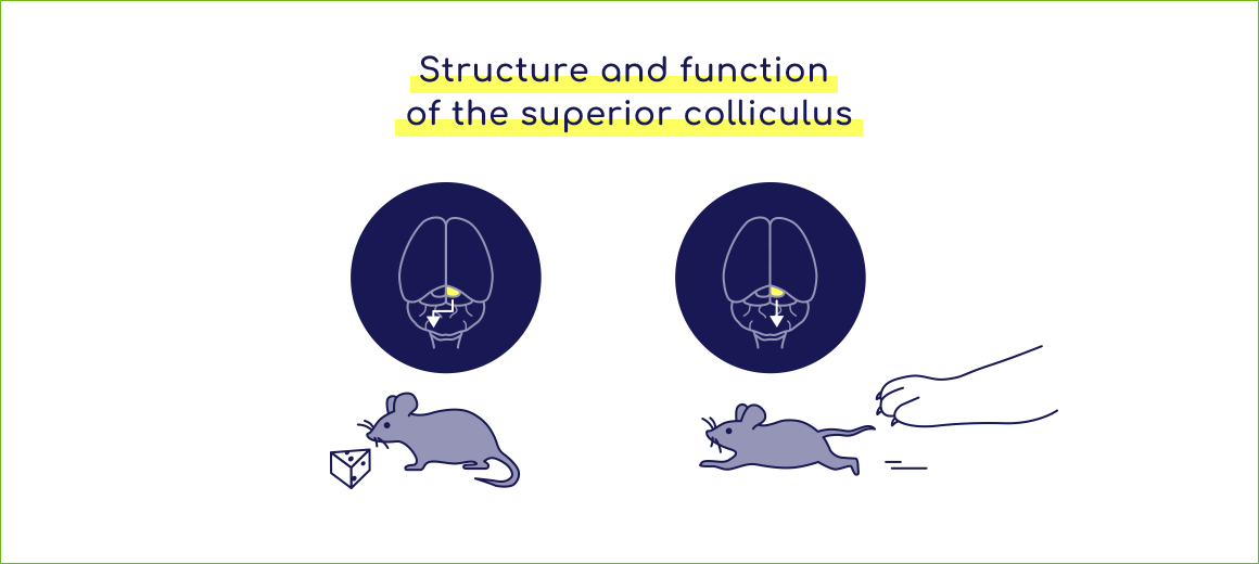 Structure and function of the superior colliculus
