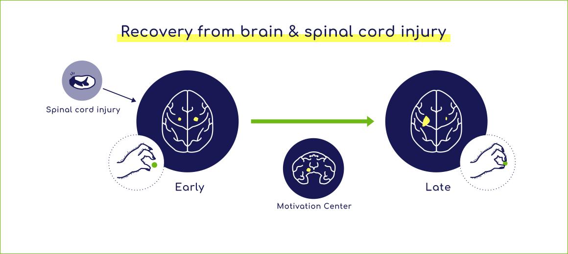 脳・脊髄損傷からの機能回復機構